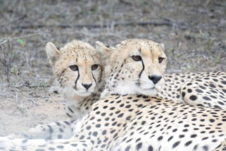Cheetah Mother and Daughter